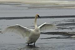 Swan Swamp (antonsrkn) Tags: wild bird nature wisconsin swan nikon wildlife aves waterfowl wi avifauna nationalwildliferefuge horicon trumpeterswan cygnusbuccinator d7100 horiconwildliferefuge