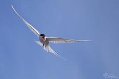 Flight of the Tern (chasedekker) Tags: ocean sea wild summer cold bird ice birds animals norway flying wings wildlife north flight images pole svalbard arctic chase wilderness tern spitsbergen dekker lagoya