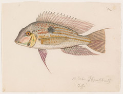 Geophagus proximus (Teffe, Brazil, 12 October 1865) (The Ernst Mayr Library) Tags: brazil fish cichlidae perciformes geophagus jacquesburkhardt eartheater scientificdrawings thayerexpedition taxonomy:binomial=geophagusproximus