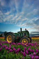 Morning Chores (Gary Randall) Tags: flowers tractor oregon tulips farm johndeere woodburn woodenshoetulipfarm dsc89063