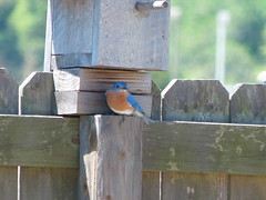 Bluebird | Florida (Nadine Miller) Tags: bird nature florida bluebird