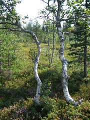 DSCF1743 highland birches (boaski) Tags: summer mountain nature norway norge norwegen norvegia osen noorwegen trysil hedmark norwege sterdalen norwegia sreosen