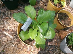 IMG_20130416_134031.jpg (moccasinlanding) Tags: fragrant hosta 2012 lotg irishluck
