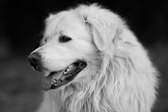 Zeus (Norbert Králik) Tags: bw dog bokeh zeus canoneos5d canonef85mmf18usm