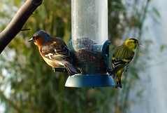 Evening Light (peterdouglas1) Tags: chaffinch siskins