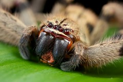 Hunting spider (Sparassidae) portrait (pbertner) Tags: macro paul nationalpark rainforest costarica corcovado biodiversity osapeninsula laamistad 5dmarkii bertner pbertner pbertnerwordpresscom