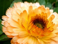 una grassa calendula (fotomie2009) Tags: orange flower yellow flora fiore calendula