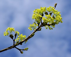 Ahorn / maple (acer) (HEN-Magonza) Tags: tree nature spring maple flora natur blossoms acer baum frühling blüten ahorn