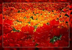 Tulips in Keukenhof last year (scorpion (13)) Tags: flower nature season colours tulips blossom walk nederland visit frame photoart keukenhof