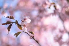 up (B. Rad) Tags: pink flowers light 50mm spring pentax bokeh sakura blooming k7