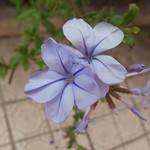 Flower Elche
