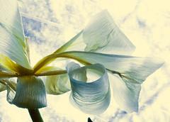 the translucence of decaying tulip.....Explored #442:) (Wendy:) Tags: curls ocf tulip wabisabi backlit gel tulipa explored 580exii