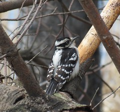 Hairy Woodpecker - Pic chevelu  Lasalle  26 Avril 2013 0142 (Diane G....) Tags: birds oiseaux hairywoodpecker picchevelu coth specanimal avianexcellence naturesspirit damniwishidtakenthat myhatsofftoyou naturallywonderful dmslair thesunshinegroup sunrays5