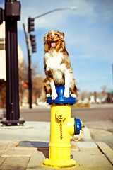 17/52 (RocketDog1170) Tags: street dog hydrant firehydrant aussie australianshepherd redmerle 52weeksfordogs