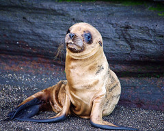 Three Week Old Baby Fur Seal (masaiwarrior) Tags: ngc npc beautifulearth thegalaxy specanimal spectacularanimals babyfurseal goldwildlife chariotsofnature certifiedphotographer coth5 naturescarousel anaturescanvas galapagos2013 frameitlevel1
