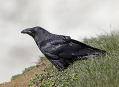 Raven (Robert Horne Wildlife Photography) Tags: raven eastsussex corvid corvuscorax
