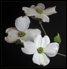 Flowering Dogwood (ioensis) Tags: macro saint st louis mo missouri flowering dogwood webster groves jdl ioensis 82460001b