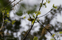 Prairie Warbler (Tiny Wallet Photography) Tags: prairiewarbler
