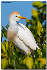 Cattle Egret in Breeding Plumage (Fraggle Red) Tags: nature birds florida wildlife posing puntagorda egret rookery peaceriver cattleegret breedingplumage bubulcusibis boattour canonef100400mmf4556lisusm huntercreek adobelightroom41 charlotteco httpwwwjmwnaturesimagescom riverrookery huntercreekrookery