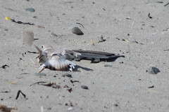 Broken wing egg defense tactics. SO COOL. 04-27-2013. (Pete Zaidel) Tags: bird nature boston outside state winthrop massachusetts birding species endangered society protection piping federal ornithology revere act plover audubon threatened