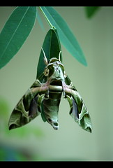 Hang in there... (sasithorn_s) Tags: friends macro nature garden insect moth soe thegalaxy betterthangood goldstaraward oleandersphinxmoth mygearandme
