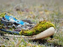 La zapatilla habitada (II) (.Bambo.) Tags: blue musgo verde green abandoned azul moss woods bosque slipper zapatilla bryophyta