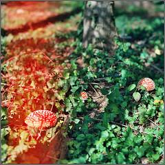 rot-grün (masine) Tags: film lightleak toadstool fliegenpilz minoltaxg2 kodakektar100