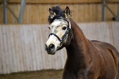 Aramara Prime Fiona (hennatin) Tags: mare pony connemara aramara aramaraprimefiona