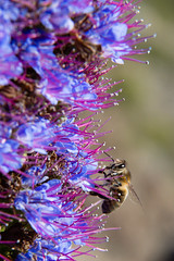 bee (vkurland) Tags: california flowers macro insect unitedstates bigsur bee californiacoast
