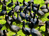 Look Up Coots! (TheJudge310) Tags: california park usa birds american placentia coots tricity 2013 canonpowershots100
