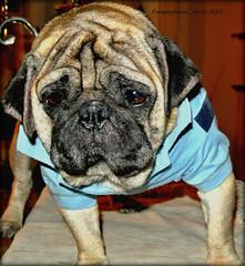"""I'll get it !!"" (GIORGINOFOREVER**) Tags: cute legs pug tshirt ready stance carlino maynewmonth"