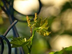 Grape Vine (Fire Engine Red) Tags: canada green nature leaves fruit garden spring essexcounty vine grapes leamington grapevine southwesternontario