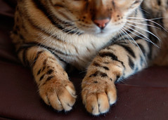 Spotted Paws (emeadow) Tags: cat clean spots paws bengal