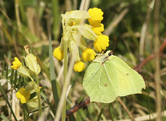 Brimstone on Cowslip (Prank F) Tags: macro nature closeup butterfly insect wildlife dunstable brimstone cowslip wildlifetrust totternhoequarry bedsuk