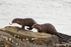 Evening Otters, Shetland (Crieffy.) Tags: wild nature wildlife puffins otters shetland sumburgh boddam bbcspringwatch moncrieff