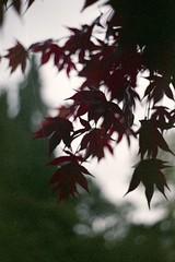 Acer (dichohecho) Tags: trees red film analog japanesemaple acer analogue pentaxmesuper fujisuperia400 westonbirtarboretum ubuphotosoc roll59 dichohecho