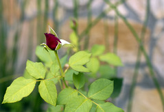 Fourth  Day (sampaio) Tags: rosas flres