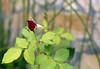 Fourth  Day (sampaio) Tags: rosas flôres