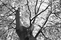 * (donvucl) Tags: bw tree london high key gordonsq donvucl fujix100s