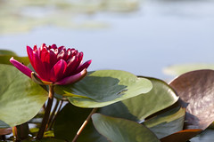 Red water lily (Lucie Maru) Tags: flowers flower summerflower plant plants garden waterlilies waterlily pond flowersonpond float floating onwater blooming blooms tranquil