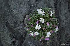 Butte Primrose (Blazingstar) Tags: butte primrose oenothera caespitosa cliffs river alberta wildflower