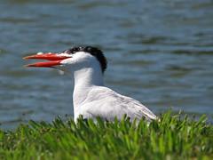 Caspian Tern (magarell) Tags: bird caspiantern mercercorporatepark robbinsville mercercounty nj