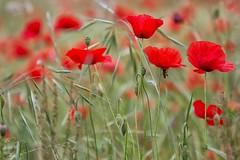 tra l'erba del prato (mat56.) Tags: flowers red verde green nature grass bokeh milano lawn natura campagna erba poppies fiori antonio rosso prato lombardia papaveri pianura padana sancolombanoallambro mat56 romei