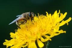 AAF_6305 (De Hollena) Tags: geestmerambacht hoverfly schwebfliege zweefvlieg