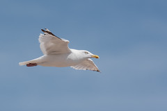 Herring Gull  |  Silbermwe (abritinquint Natural Photography) Tags: bird vogel natural wildlife nature wild nikon d750 telephoto 300mm pf f4 300mmf4 300f4 nikkor teleconverter tc17eii pfedvr gull herring herringgull seaside sea inflight fly flight seagull