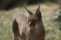 072_Great Cats Park_Caracal (steveAK) Tags: greatcatsworldpark caracal