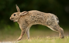 Stretching Wild Rabbit (Wouter's Wildlife Photography) Tags: wildrabbit oryctolaguscuniculus rabbit wildlife nature animal mammal rodent ameland stretching