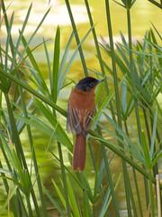 IMG_3752 (carolnyny) Tags: anjajavy bird flycatcher madagascar