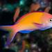 Redfin Anthias - Pseudanthias dispar