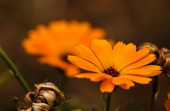 New and old (Steve-h) Tags: nature natur natura naturaleza flowers blossoms bright bokeh depthoffield dof orange brown textures dublin ireland europe summer august 2015 steveh